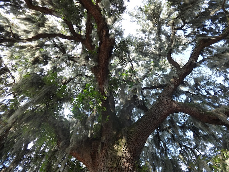 A live oak and the Spanish moss