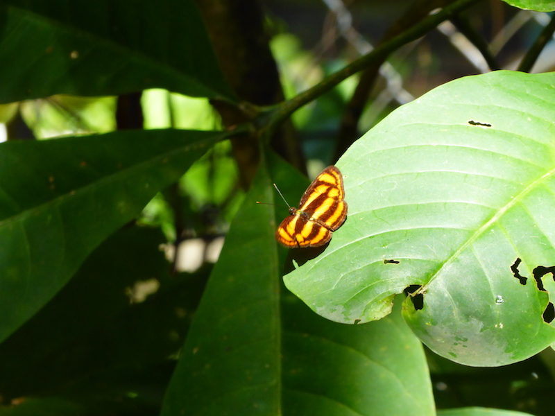 One of the smaller butterflies on Bukit Timah