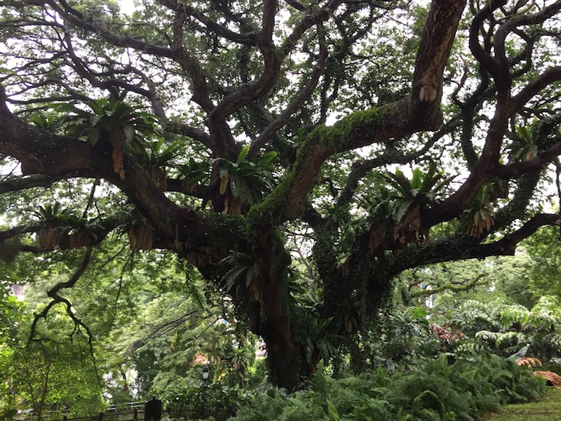 Architectural tree in Fort Canning Park